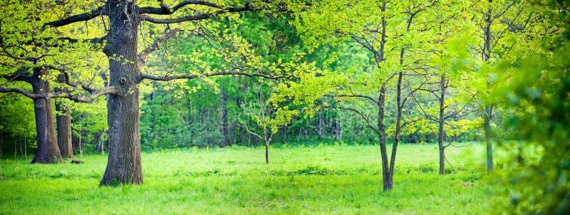 parkowa dąb wiosna fotografia royalty free