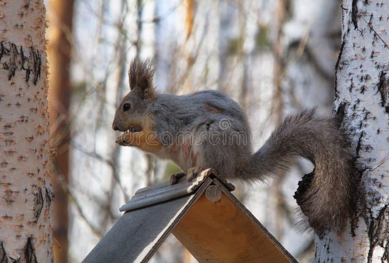 parkowa wiewiórka fotografia stock