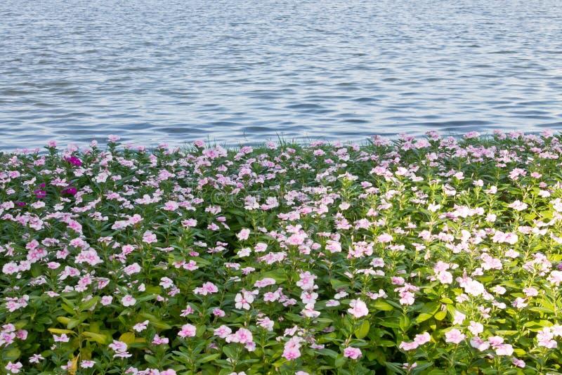 Parkowy społeczeństwa, jeziora i barwinka kwiat, obrazy stock