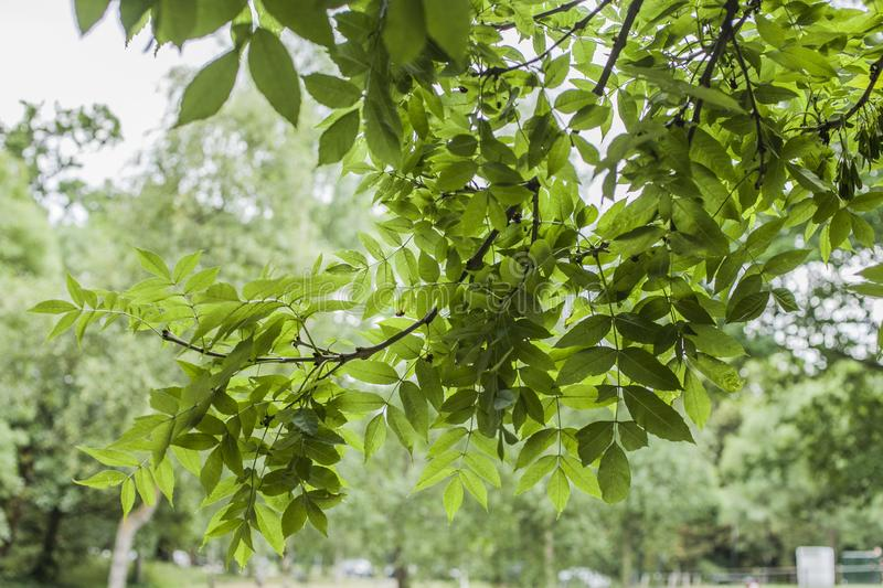 Parks in London, England; sunlit branches full of green leaves. This image shows a view of a park in London, England, the UK. It was taken on a sunny day in royalty free stock photography