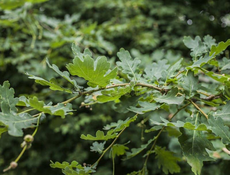 Parks in London - sonnenbeschiene Niederlassungen mit dunkelgrünen Blättern lizenzfreie stockfotos