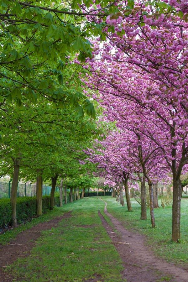 Parksleep tussen bruine en Japanse kersenbomen royalty-vrije stock afbeelding