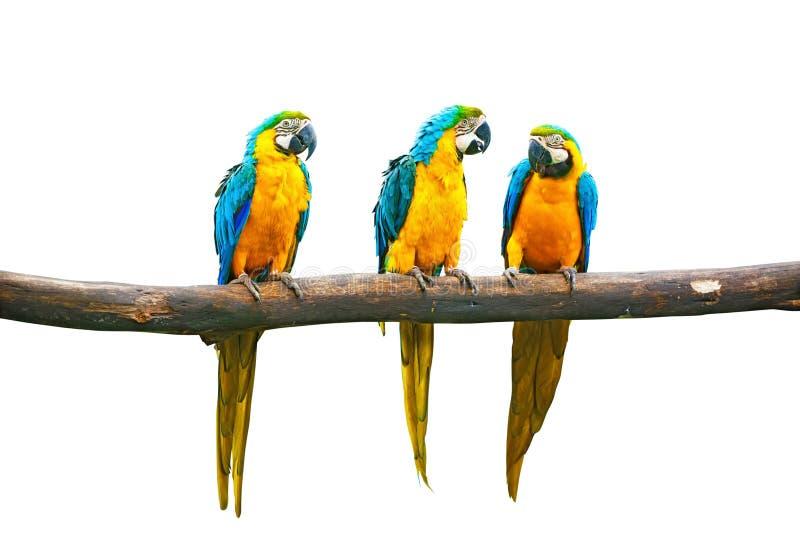 Parler Bleu-et-Jaune de Macaw photos stock