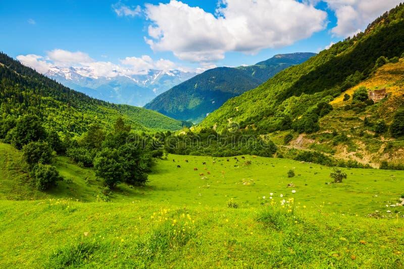 Parmi les hautes montagnes du Caucase frôlez les vaches photos stock