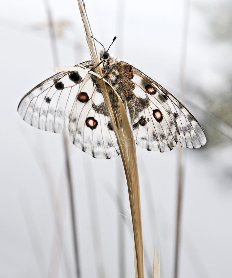 Parnassius Apollo Witte vlinder met rode vlekken die op bladgras zitten stock fotografie
