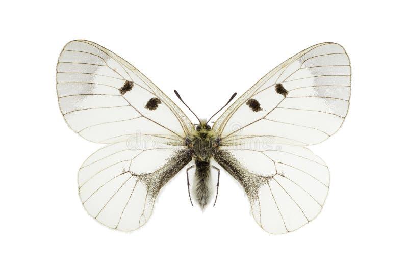 Parnassius mnemosyne stock image