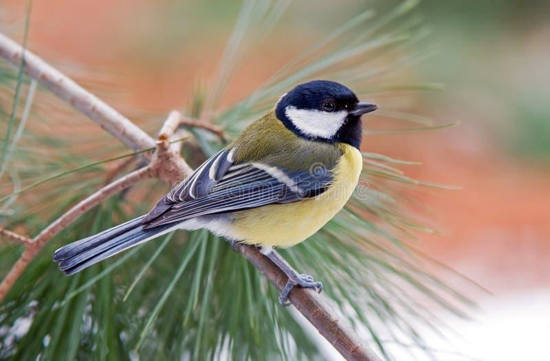 Download Paro carbonero imagen de archivo. Imagen de lindo, ornitología - 41906487