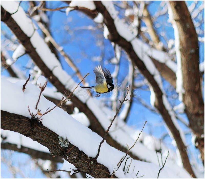 Paro di volo sull'albero di inverno immagine stock