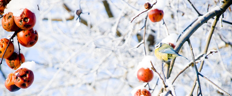 Paro que se sienta en un manzano nevoso fotografía de archivo libre de regalías