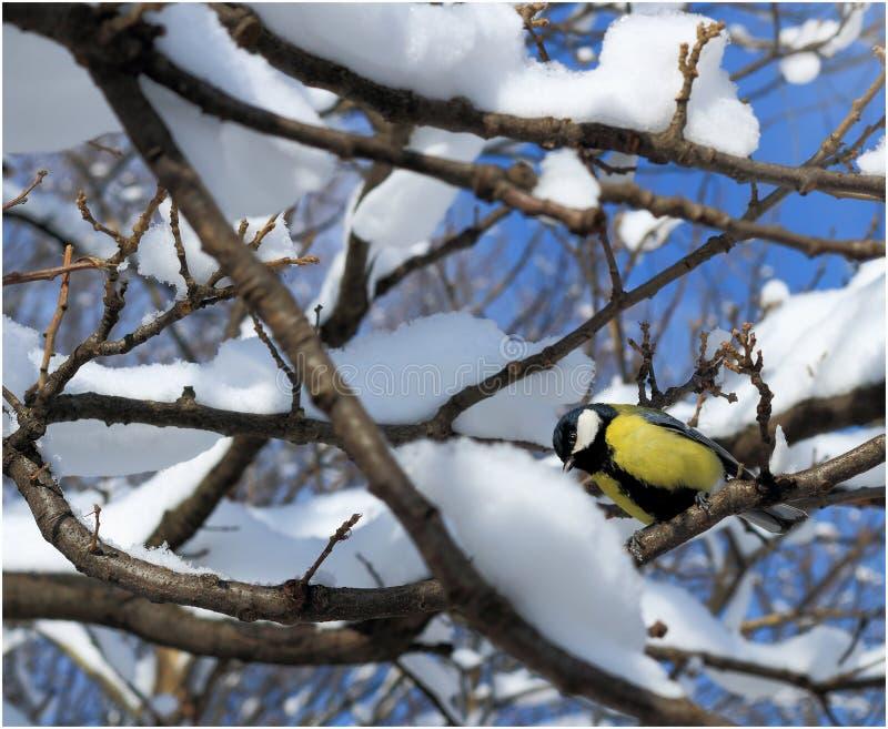 paro sull'albero di inverno fotografia stock libera da diritti