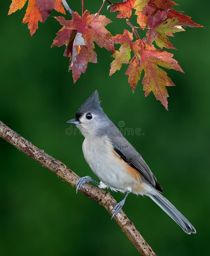 Paro trapuntato sotto le foglie variopinte di caduta fotografia stock libera da diritti