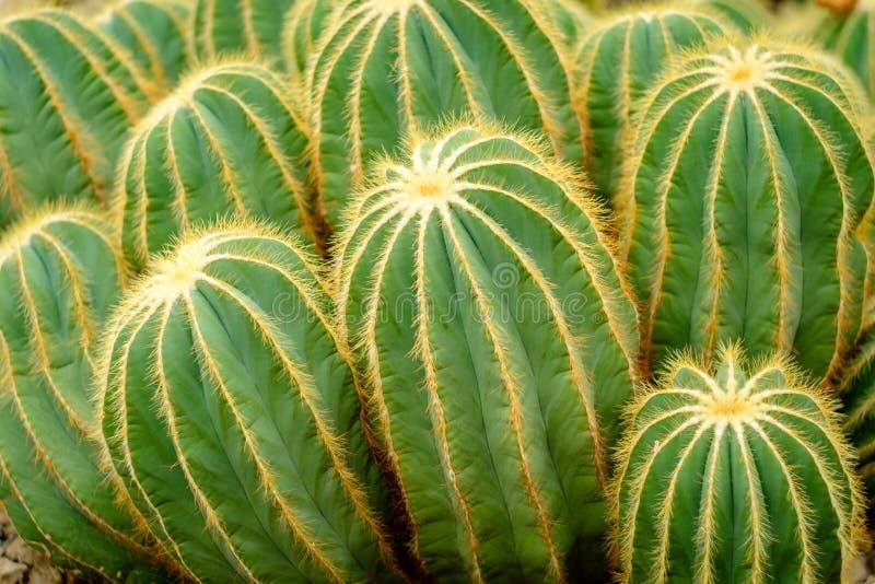 Parodia Magnifica Cactus stock image