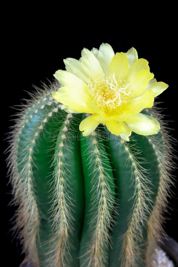 Parodia magnifica or Notocactus magnifica with yellow flower blossom. royalty free stock images
