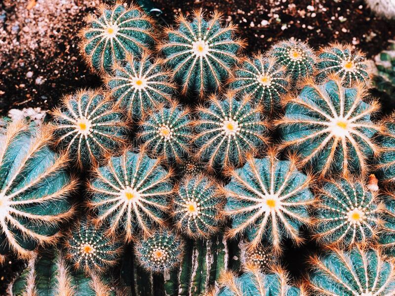 Parodia magnifica growing inside Montreal Garden greenhouse royalty free stock photo