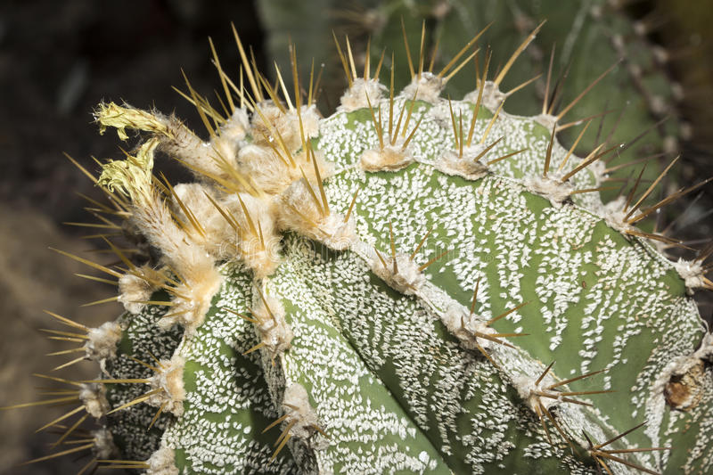 Parodia magnifica succulent plant from Brazil stock images