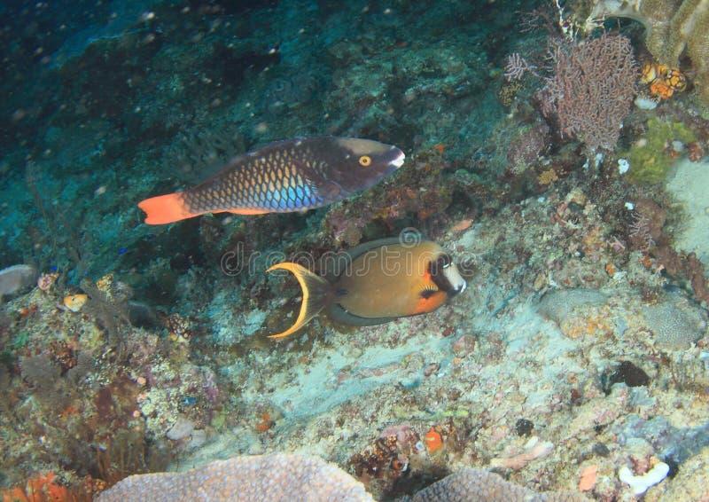 Parotfish tricolores et surgeonfish imitateur photographie stock