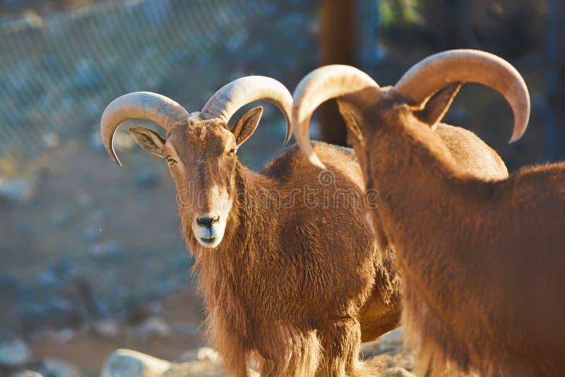 Parque africano de la fauna de Arizona de la cabra imagen de archivo
