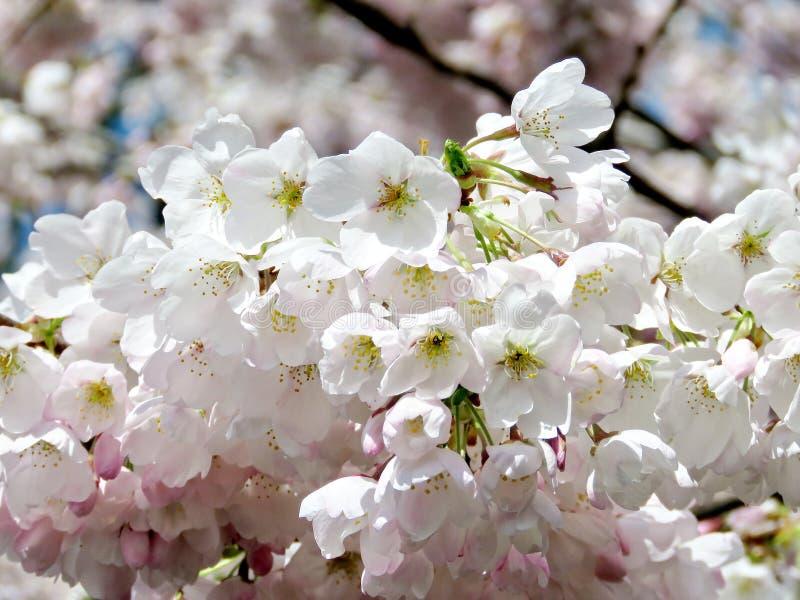 Parque alto de Toronto a flor de cerejeira 2017 fotografia de stock