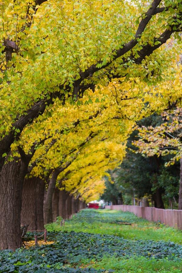Parque amarelo dourado das árvores da nogueira-do-Japão em público fotografia de stock