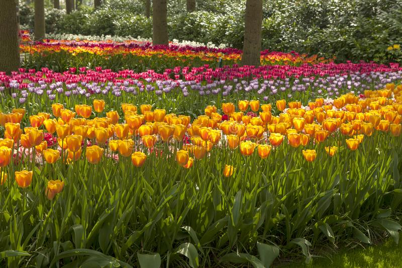 Parque com campos holandeses bonitos da tulipa imagem de stock royalty free