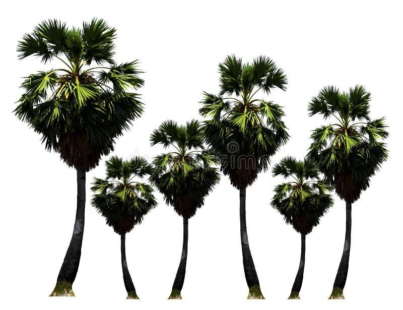 Parque de árvores do Palma-açúcar, crescimento de fruto tropical acima na exploração agrícola orgânica isolada no fundo branco fotos de stock royalty free