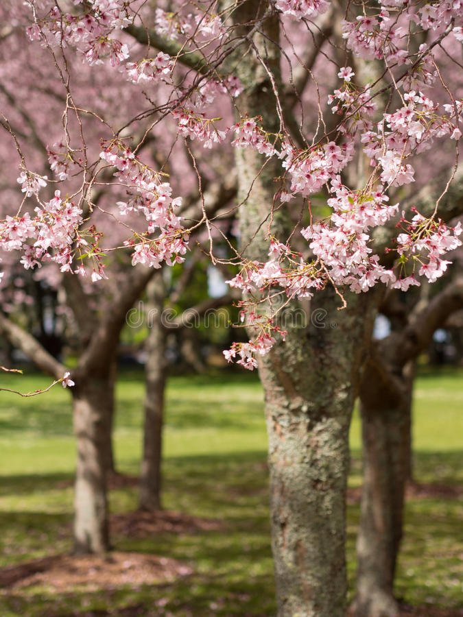 Parque de Cherry Blossom @ Cornualha, Auckland, Nova Zelândia imagem de stock royalty free