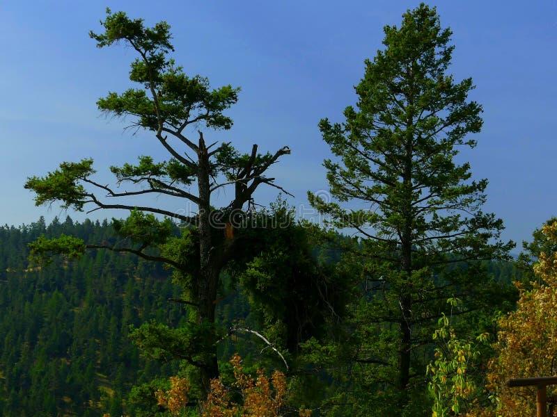 Parque de estado solitario gemelo del pino de los árboles de pino @ imágenes de archivo libres de regalías