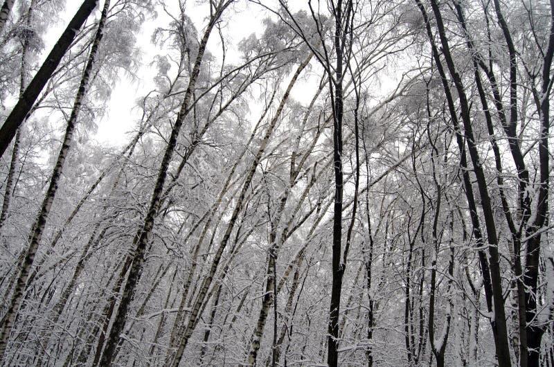 Parque de Filevsky, Moscú, Rusia después de nevadas Árboles inclinados debajo de nieve imagen de archivo libre de regalías
