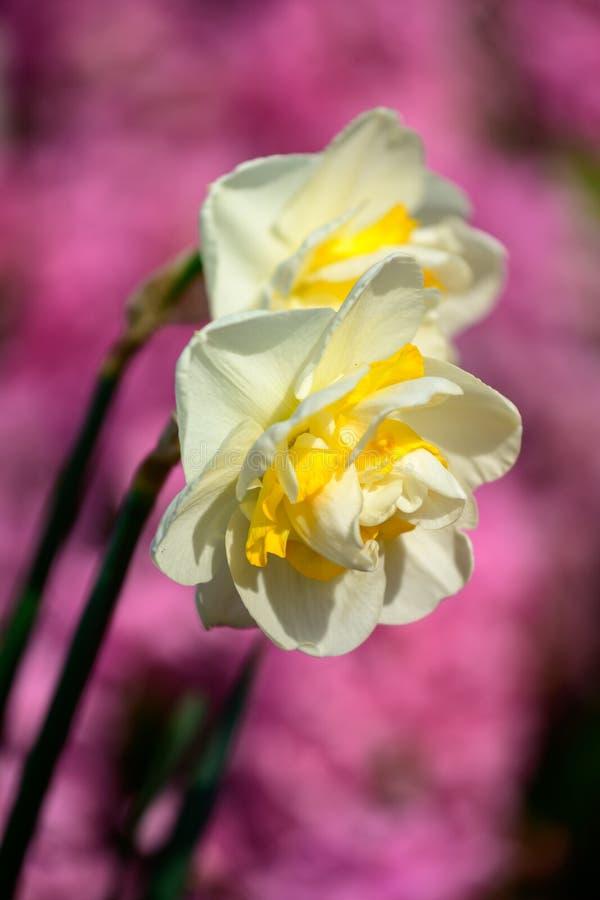 Parque de Keukenhof em Países Baixos no tempo de mola, flores do narciso amarelo imagens de stock