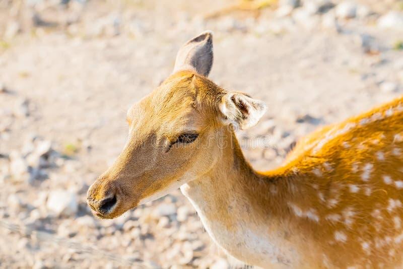 Parque de nipônico do Cervus dos cervos de Sika em privado na paisagem imagem de stock royalty free