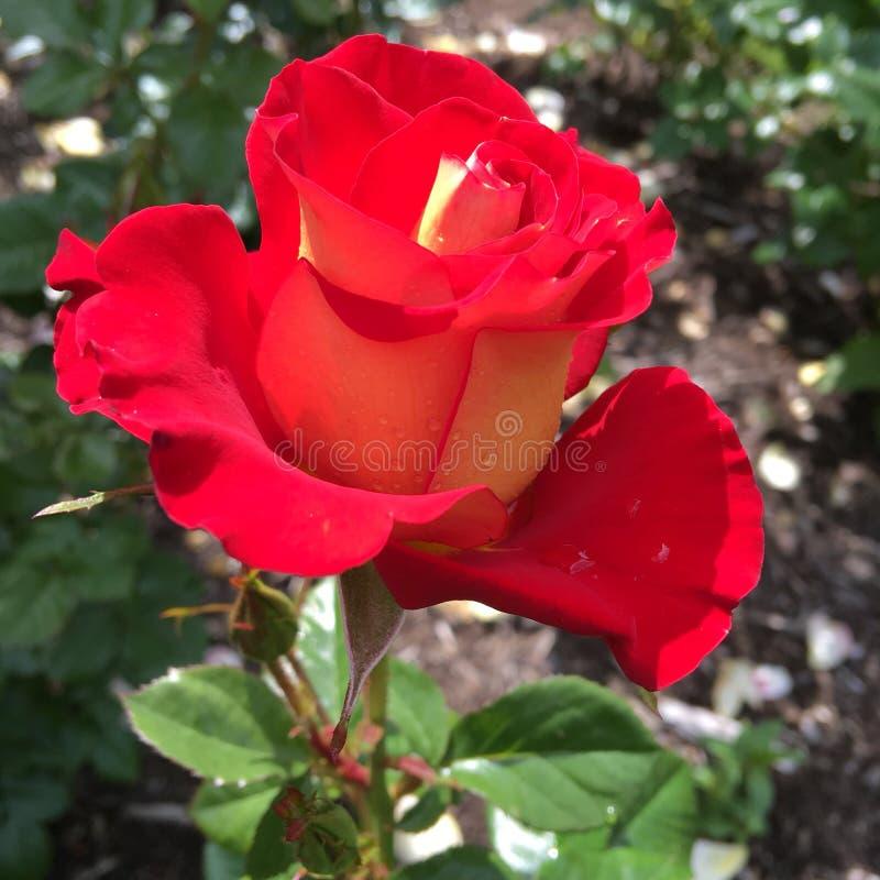 Parque de rosas imagen de archivo libre de regalías