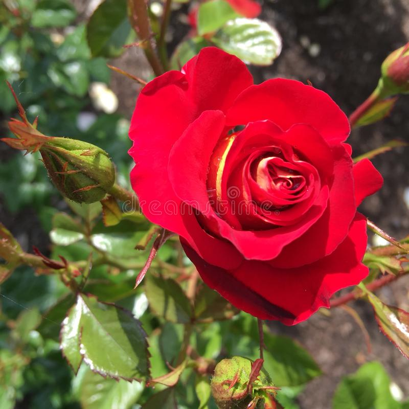 Parque de rosas foto de archivo