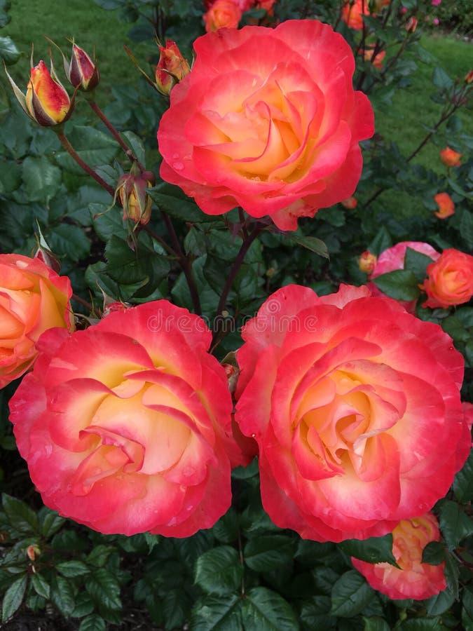 Parque de rosas imagenes de archivo