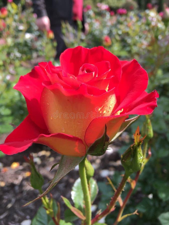 Parque de rosas foto de archivo libre de regalías