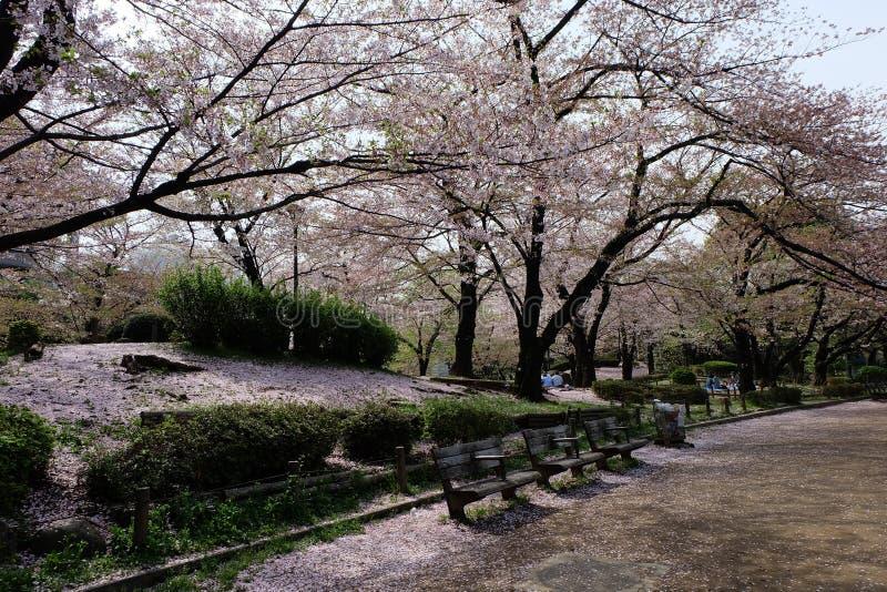 Parque de Sumida de la vuelta de Sakura a picar foto de archivo libre de regalías
