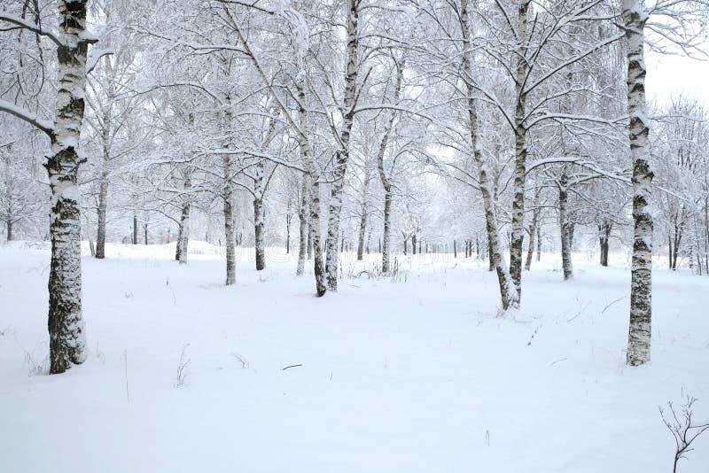 Parque del invierno con los abedules cubiertos con nieve blanca limpia con los árboles de abedul con las ramas nevosas en día nub foto de archivo libre de regalías
