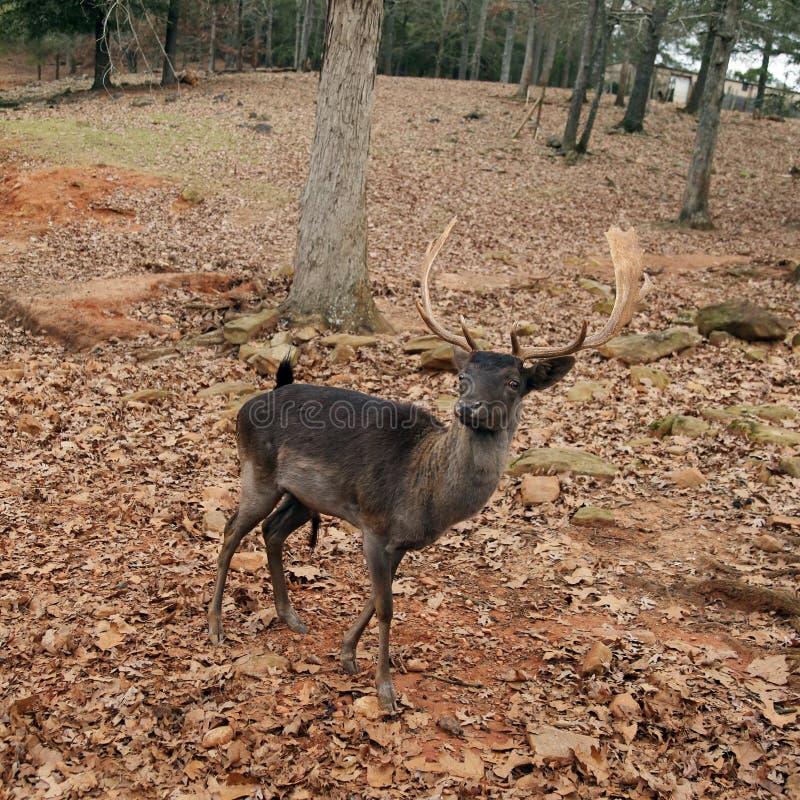 Parque del safari - ciervo marrón fotografía de archivo libre de regalías