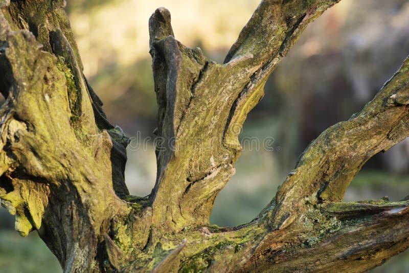 Parque Disley de Lyme da árvore da sequoia vermelha, Darbyshire Inglaterra fotografia de stock