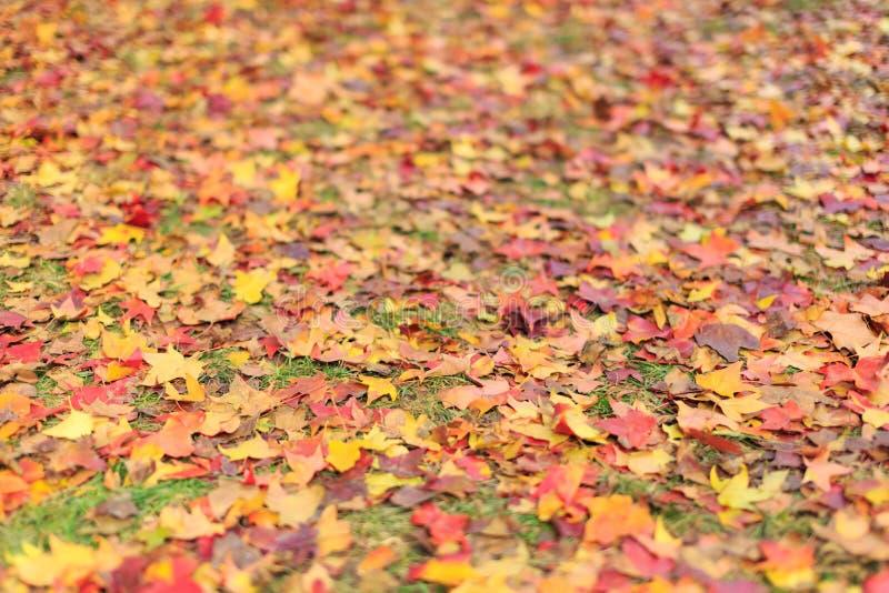 Parque ditan do Pequim, folhas da terra do outono foto de stock royalty free