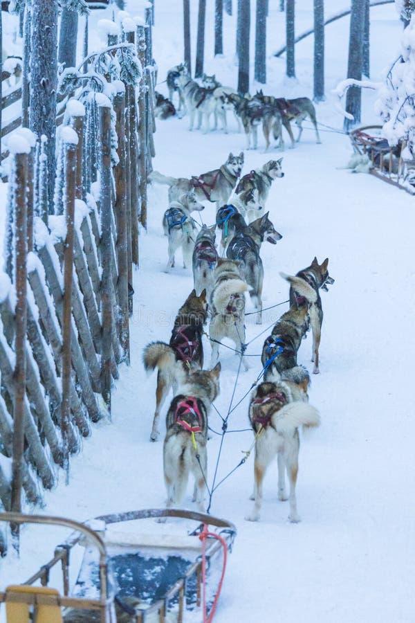 Parque do cão de Husky In Rovaniemi Husky Sledding foto de stock royalty free
