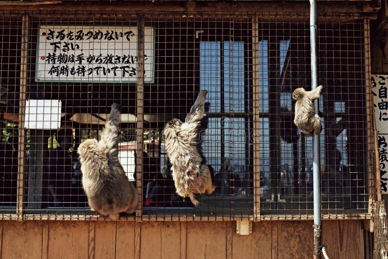Parque do macaco de Iwatayama em Arashiyama, Japão foto de stock royalty free