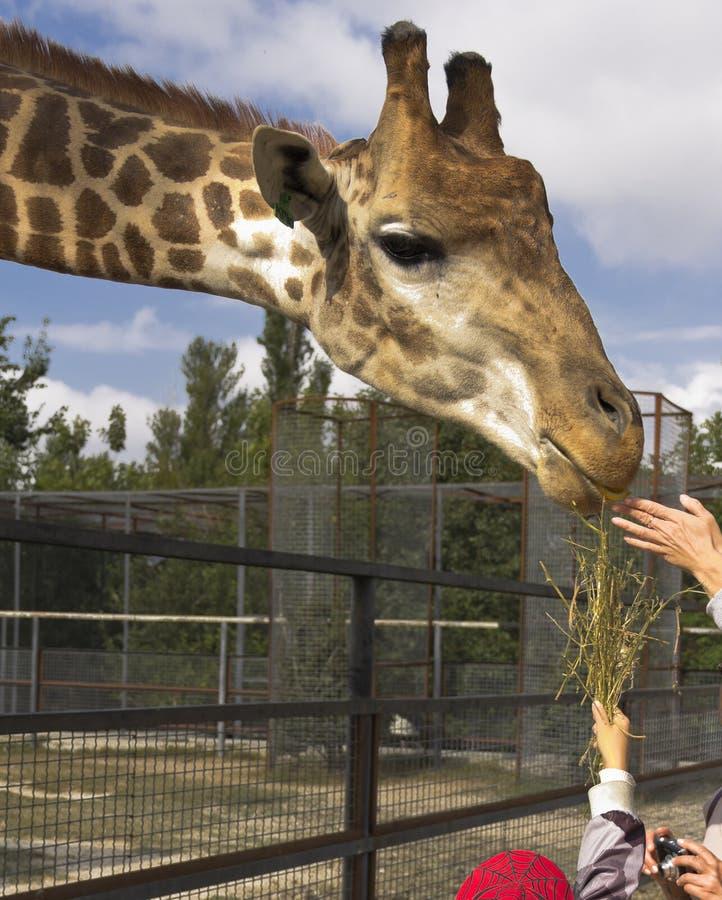 Parque do safari Alimento para um girafa imagem de stock
