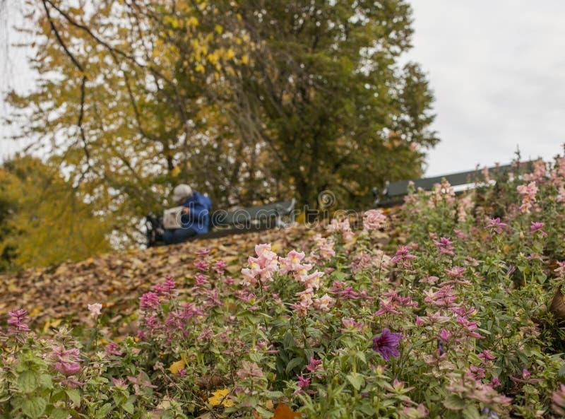 Parque em Oslo, Noruega, Europa - flores cor-de-rosa e folhas secas foto de stock