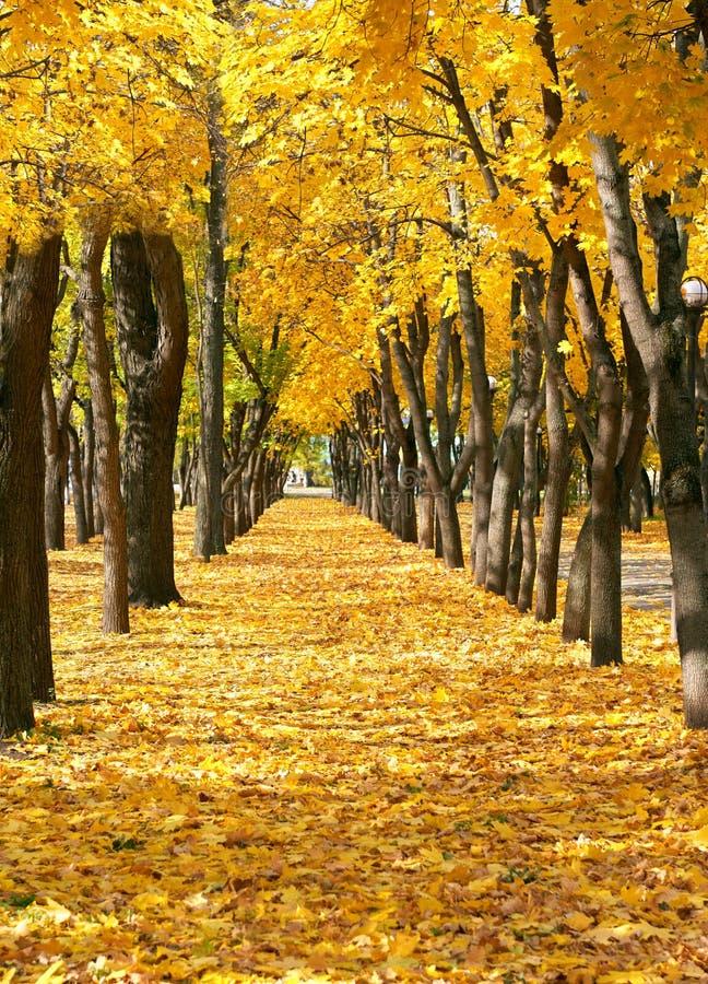 parque en la estación del otoño, árboles de la ciudad en fila con las hojas amarillas caidas, paisaje hermoso brillante en el día imagen de archivo