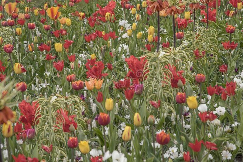 Parque Keukenhof cheio de tulipas, daffodils e todas as outras flores de bolbos de primavera imagem de stock