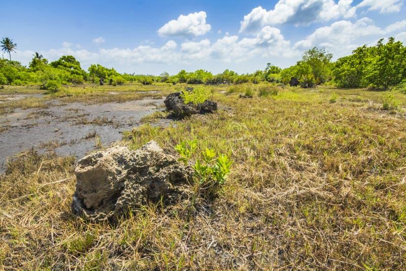 Parque nacional da baía de Jozani Chwaka do pântano da floresta da selva, Zanzibar, Tanzânia foto de stock