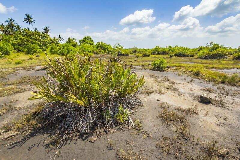 Parque nacional da baía de Jozani Chwaka do pântano da floresta da selva, Zanzibar, Tanzânia fotografia de stock