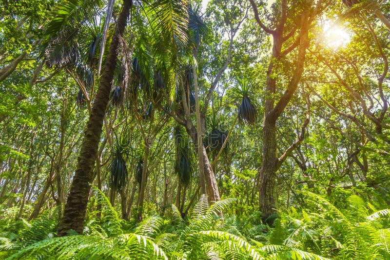 Parque nacional da baía de Jozani Chwaka da floresta da selva, Zanzibar, Tanzânia imagem de stock royalty free
