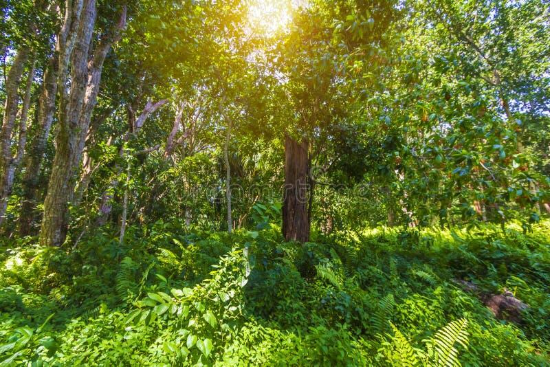 Parque nacional da baía de Jozani Chwaka da floresta da selva, Zanzibar, Tanzani foto de stock