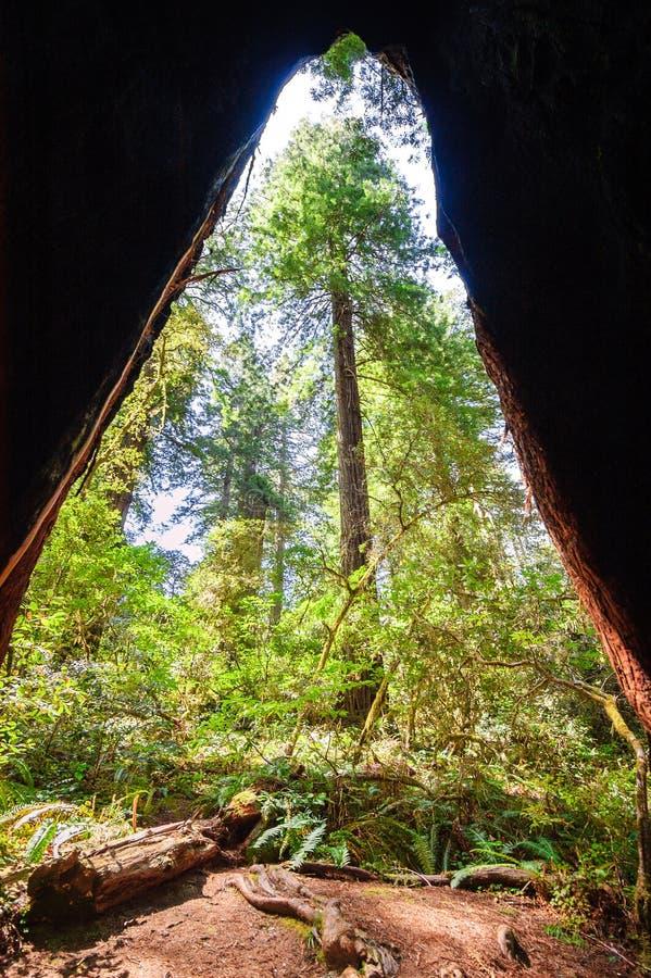 Parque nacional da sequoia vermelha fotos de stock
